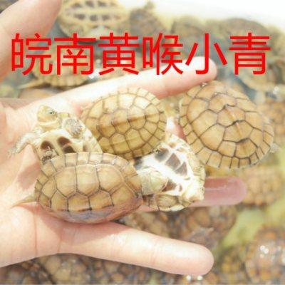 黄喉拟水龟黄喉小青头黄喉活体乌龟北种石金钱发财龟情侣龟黄金龟
