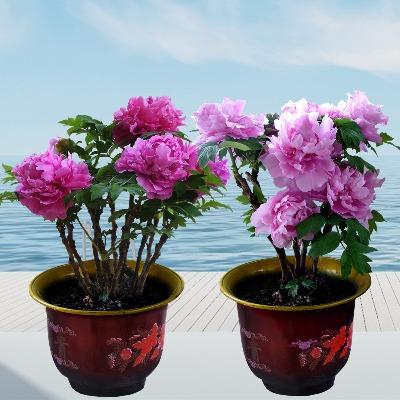 牡丹花苗盆栽花卉室内植物四季绿萝水培绿植山茶花兰花苗多肉盆景