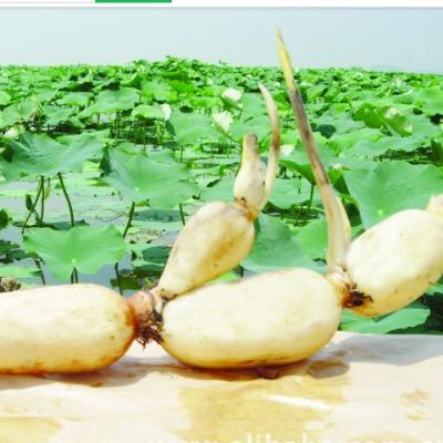 整套莲藕种植技术 优质高产栽培14盘+2书 病虫害与四大家鱼养殖